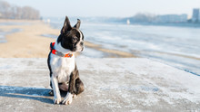 Boston Terrier Puppy Sitting I...