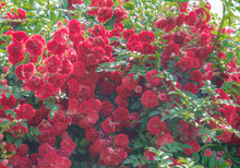 Climbing Plants In The Garden - Red Roses