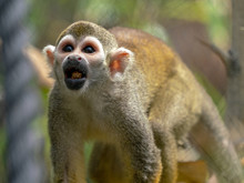 Squirrel Monkey Playing In The Sun