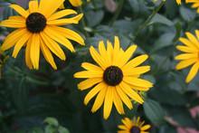 Bright Yellow Rudbeckia Flower...
