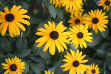 Bright Yellow Rudbeckia Flowers Also Called Black Eyed Susan In The Garden On Summer