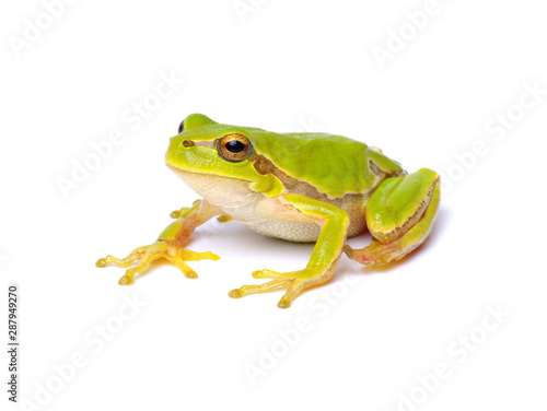 Obraz na plátne Green tree frog isolated on white