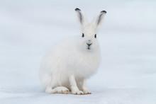 White Hare (Lepus Timidus). Ha...