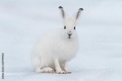 Tablou Canvas White hare (Lepus timidus)