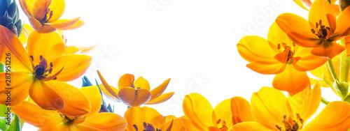 Fototapeta Tło z wolną przestrzenią otoczoną z trzech stron kwiatami. Żółte kwiaty na białym tle. obraz
