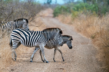 Fototapeta na wymiar zebra crossing in kruger park south africa