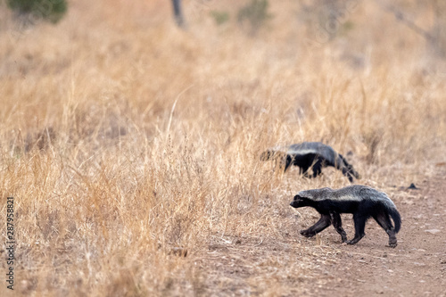 Valokuva honey badger in kruger park south africa