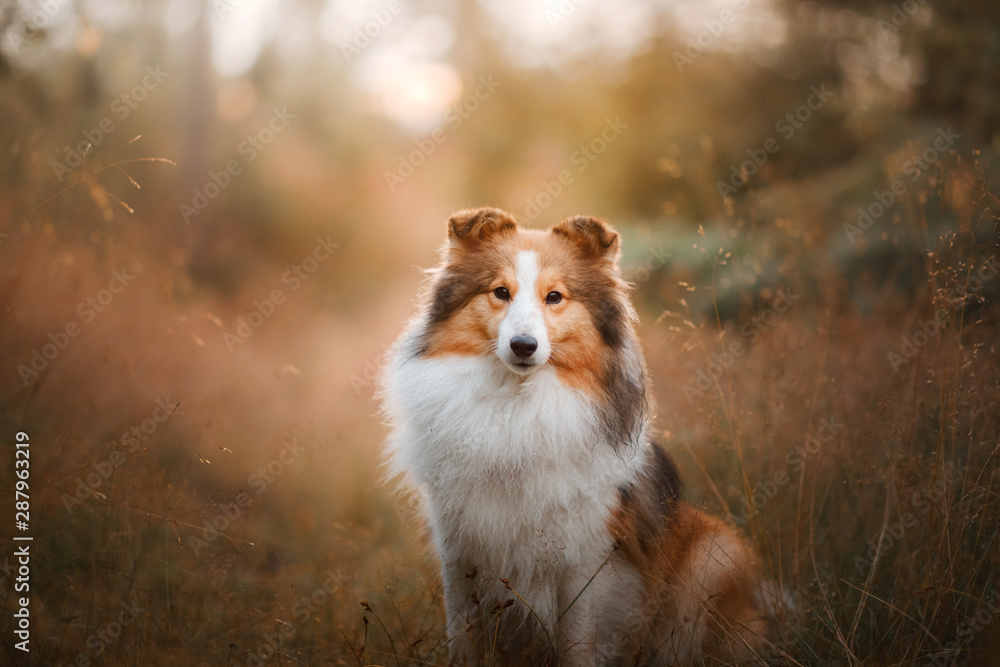 Fototapeta Dog in the yellow grass at sun dawn. obedient beautiful sheltie posing in the park
