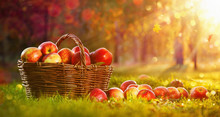 Apples In A Basket Outdoor. Su...