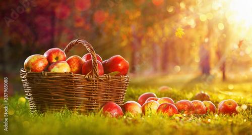 Pinturas sobre lienzo  Apples in a Basket Outdoor. Sunny Background. Autumn Garden