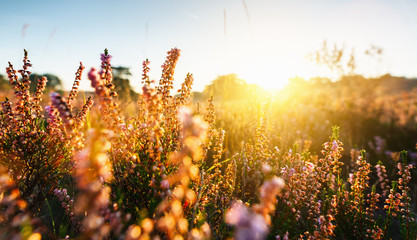 Natural background with small pink-lilac Heather flowers or Calluna vulgaris flowers at sunset. Soft focus.