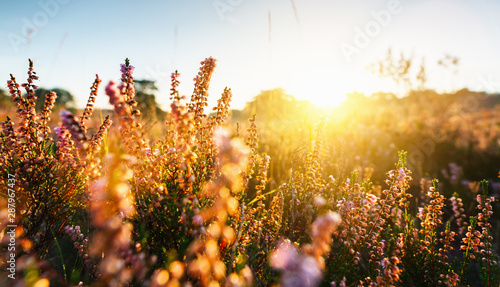 Spoed Fotobehang Bloemenwinkel Natural background with small pink-lilac Heather flowers or Calluna vulgaris flowers at sunset. Soft focus.