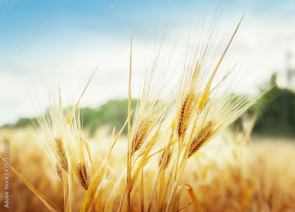 Fototapety, obrazy: Wheat ears under blue sky
