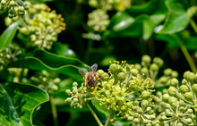 Macro Shot Of A Bee Sitting On The Blossoms Of An Ivy And Sucking Nectar With Its Proboscis.