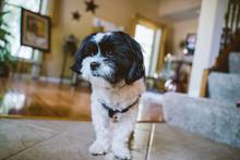 Shih Tzu Mix Dog At Home