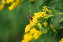 Common Aerial Yellowjacket On Goldenrod Flowers