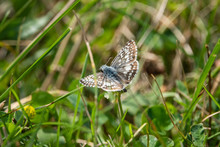 Common Checkered Skipper On Wh...