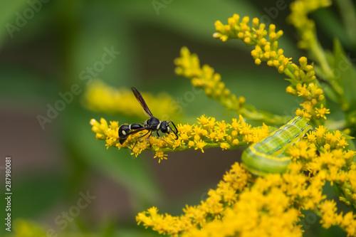 Valokuva Fraternal Potter Wasp on Goldenrod Flowers in Summer