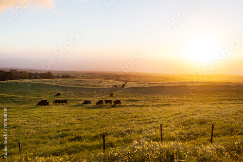 Cows / cattle grazing in ranch pasture on slope of Kohala Mountain in Hawaii Canvas