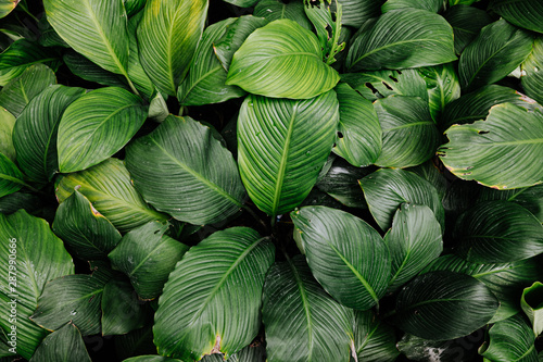 Fototapety, obrazy: tropical leaf texture green leaves Background, foliage nature