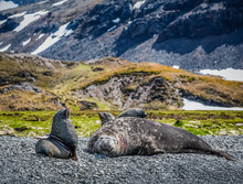 Elephant Seal With His Mate Re...