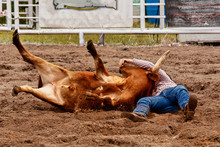 A Cowboy Wrestling A Steer To ...