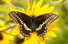 Full Dorsal View Of Open Wings Of An Eastern Black Swallowtail Butterfly On A Native Sunflower In Brilliant Morning Sun