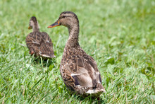 Young Ducks Walking Away From ...