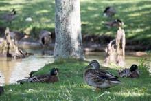 Multiple Ducks Beside Pond