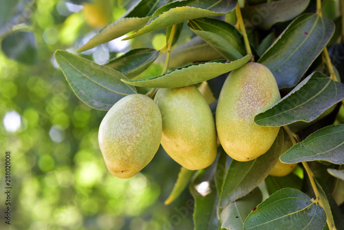 Jujube jojoba plant tree Canvas-taulu