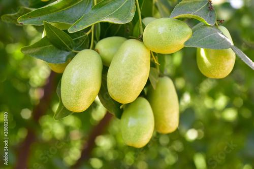 Jujube jojoba plant tree Canvas-taulu