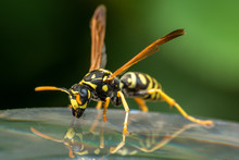 Closeup Of A Wasp Insect