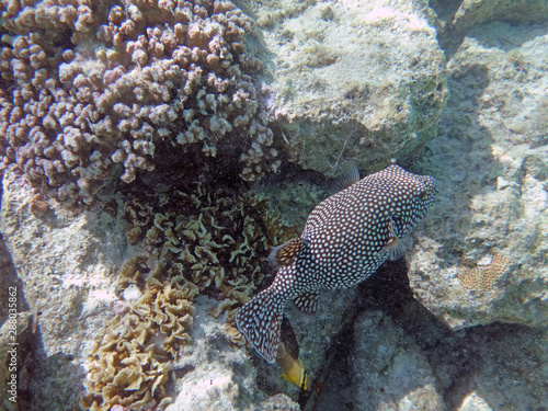 Photo Underwater view of a Spotted Boxfish (Ostracion meleagris) in the Bora Bora lago