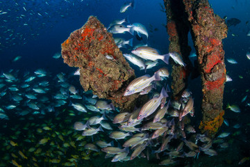 Fototapeta na wymiar Schools of colorful tropical fish around an old underwater shipwreck in a tropical ocean