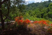 Red Wild Orchid Or Renanthera ...