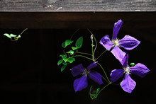Purple Clematis Flowers And Pa...