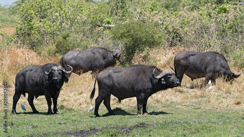 Recess Fitting Buffalo Water buffalo and Cattle egret in Moremi National Park Botswana
