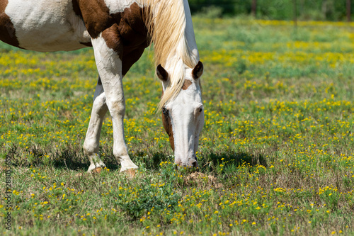 White and brown paint horse with one blue eye grazing