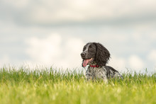 Cute Young Proud English Springer Spaniel Dog Is Lying In The Grass In A Green Meadow