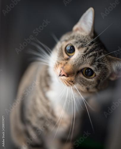 Beautiful short hair cat with big eyes