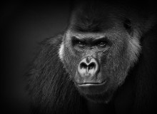Gorilla Portrait In Black And White. Closeup Of A Dangerous-looking Silverback.