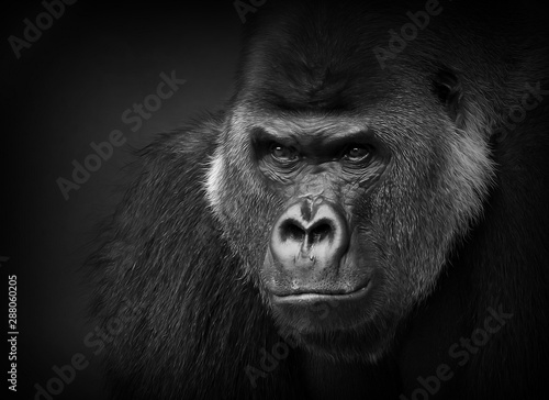 Papiers peints Singe Gorilla portrait in black and white. Closeup of a dangerous-looking silverback.