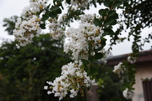 The Bark Of Crepe Myrtle Is Smooth, And Bright Red, Pink And White Flowers Bloom In The Summer.