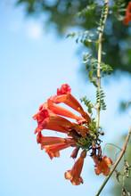Bignonia Capreolata Or Crossvine