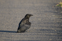 Young Crow Sitting On A Rural Road
