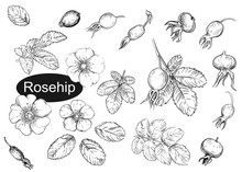 Hand Drawn Vector Illustration Set Of Rosehip, Leaf, Flowers. Black And White Sketch Of Berry. Painting Isolated.
