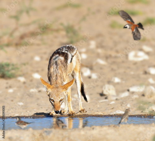 Black-back Jackal quenching its thirst at a watering hole with birds flying in to drink. Canis mesomelas