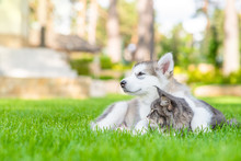 Alaskan Malamute Puppy Embracing Adult Maine Coon Cat On Green Summer Grass And Looking Away On Empty Space
