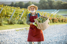 Senior Well-dressed Winemaker Walking With Basket Full Of Freshly Picked Up Wine Grapes, Harvesting On The Vineyard During A Sunny Evening