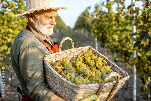 Fotomural Portrait of a senior well-dressed winemaker with basket full of freshly picked u